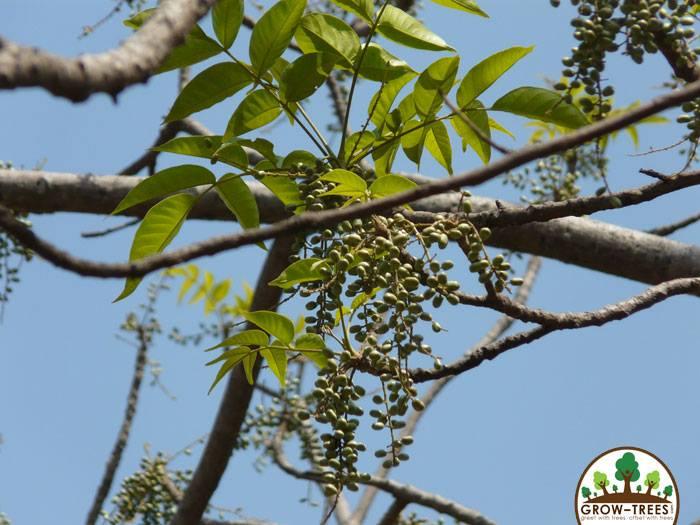 Indian Ash Tree