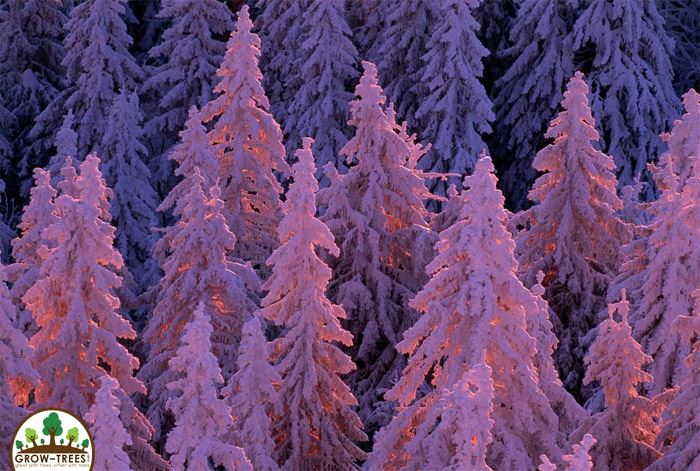 Purple Trees at Germany's Black Forest