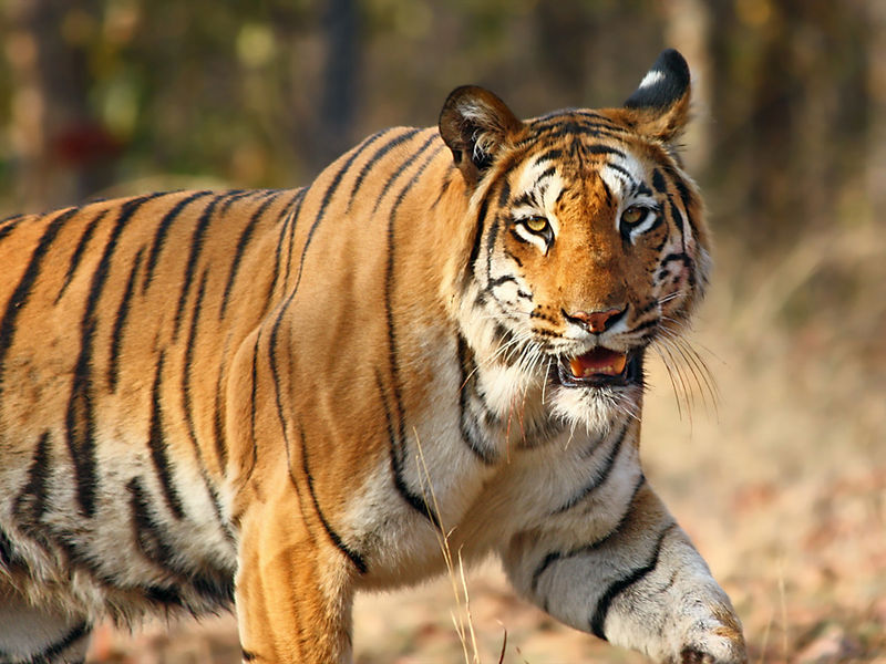 The Epic Story of Saving the Tigers